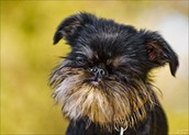 כלב מגזע גריפון