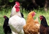 2017 Poultry Calendar Photo Contest
