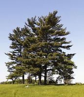 Easteren white pine