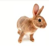 Description of rabbit