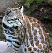 chilan pampas cat