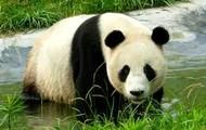 Panda Taking A Swim!