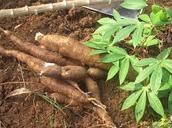 Cassava being grown