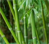 Bengal bamboo