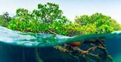 Intro to Florida Mangroves