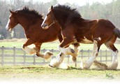Two clydesdales galloping