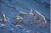 Lobos adaptados al clima y a las condiciones de la alta montaña.