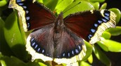 Adult Mourning Cloak