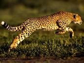 The fastest land mammal