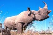 A Black Rhino bellowing