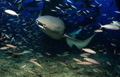 All   About   Nurse    Sharks