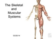 What the muscle system works with.