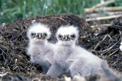 Actual Baby Eaglets---So Cute!!