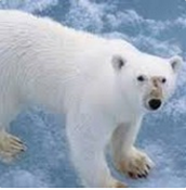 Poler bear (Jeff)