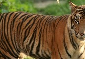 Basic Facts About Tigers