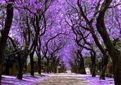 and Jacaranda bloom in April and May...
