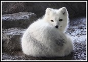 And the artic foxes and the eagles in the Wild Trail...
