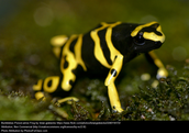 Poison frog B
