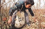 A little boy putting cotton in his cotton collecting bag