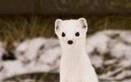 Least Weasel standing on hind legs