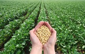 Soybeans | GMO? Yes