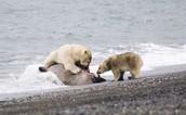 How do Polar Bears Live?