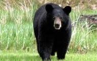 The Louisiana Black Bear