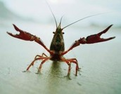 Crayfish Adaptations