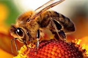 """Question 19: Interpret this quote. """"If the bee disappeared off the face of the Earth, man would only have 4 years left to live."""" Maurice Maeterlinck, The Life of the Bee."""