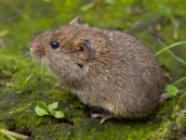 A vole looks similar to a mouse.