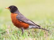 State Bird-Robin