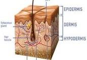 Hablemos de dos de las tres capas que conforman nuestra piel: la DERMIS y la EPIDERMIS.