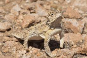 This Texas Horned Lizard is also camouflaging.