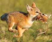 What the fennec foxes eat