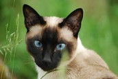What are the physical characteristics of a saimese cat?