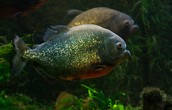 Piranhas eat there own kind