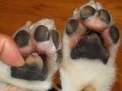 Rock salt wound on dog's paws
