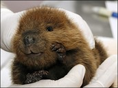 this is a beaver