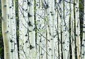 (Paper) White Birch
