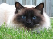 Birman laying in the grass