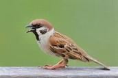the Cockasparrow,
