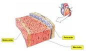 Camadas da Parede Cardíaca: