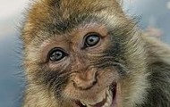 middle eastern monkey