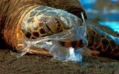 Sea Turtle Entangled At The Mouth