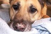 Autoimmune Disease happens to animal?