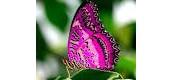 La mariposa  rosa .