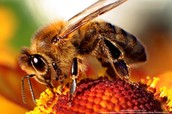 Why / How are bees dying?