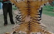 poaching a tiger for his skin