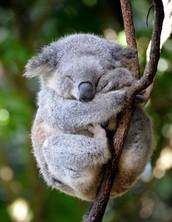 Koalas: the Real Life Teddy Bear
