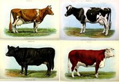 Cows That are Breed by Artificial selection
